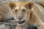 Serengeti cub