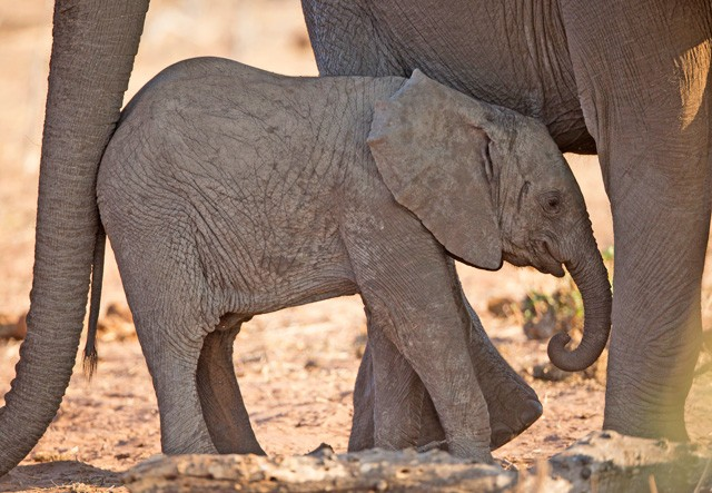Chobe elephant & calf  by Lip Kee Yap