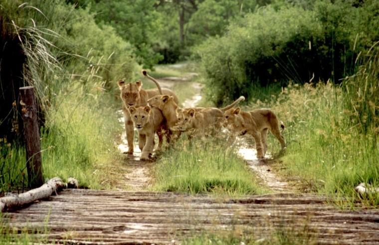 Kruger lions sighting