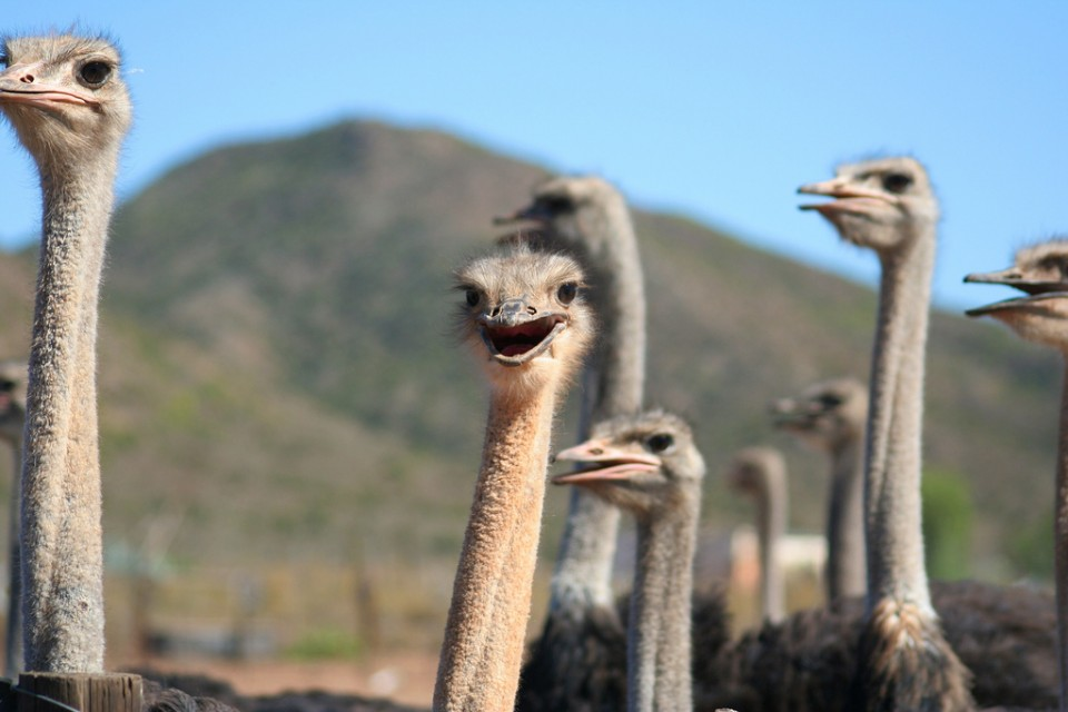 Ostriches  by Michael Day