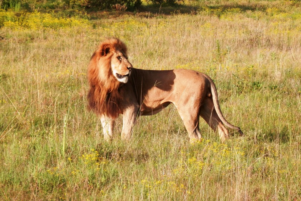Lion in Addo