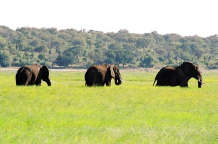 Elephants in Chobe Park