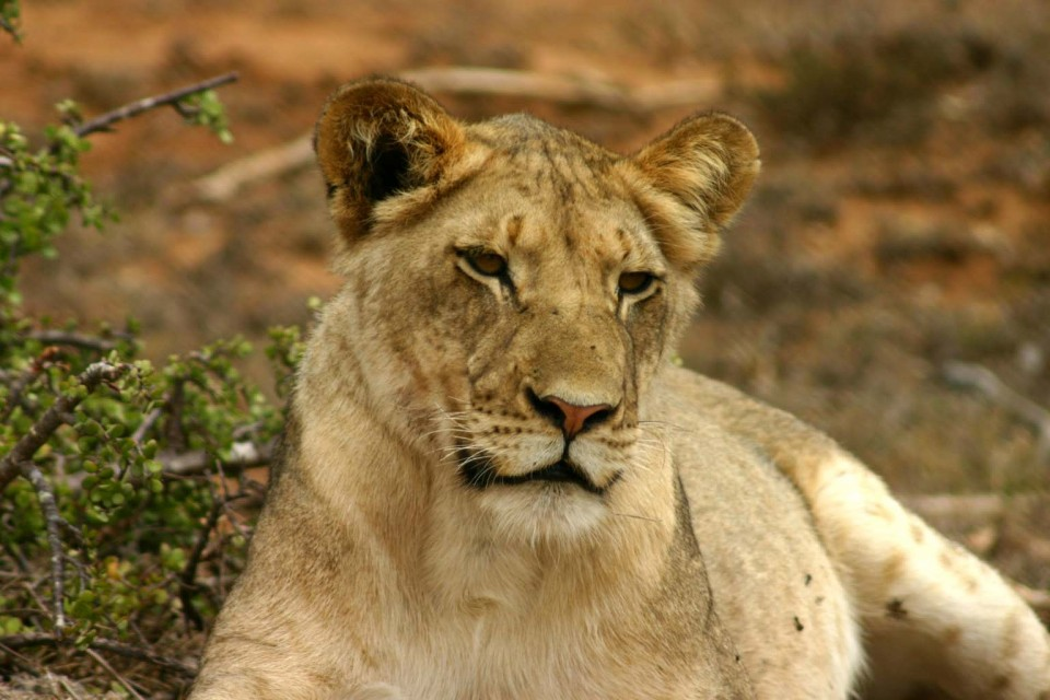 Addo lion  by Charles Sharp