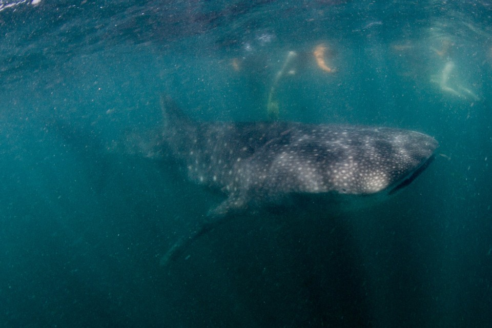 Tofo whale shark  by Tchami