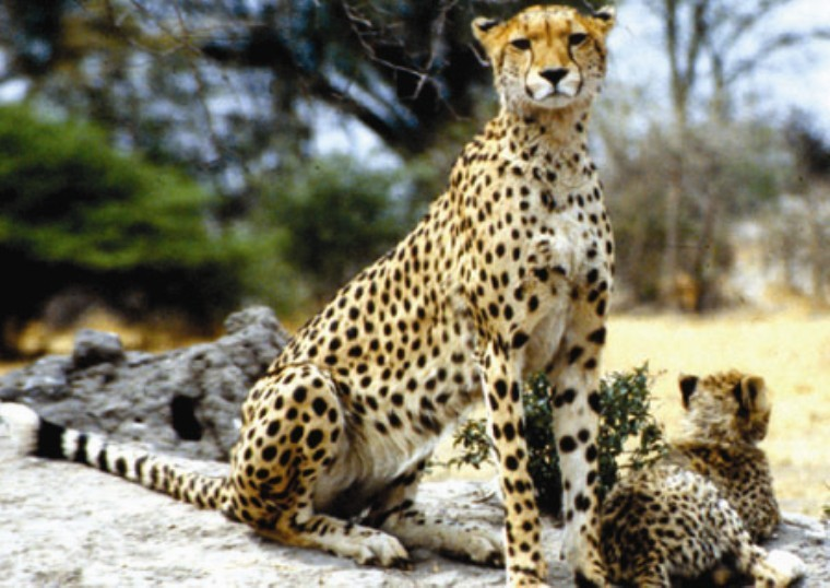 Cheetahs in Kruger