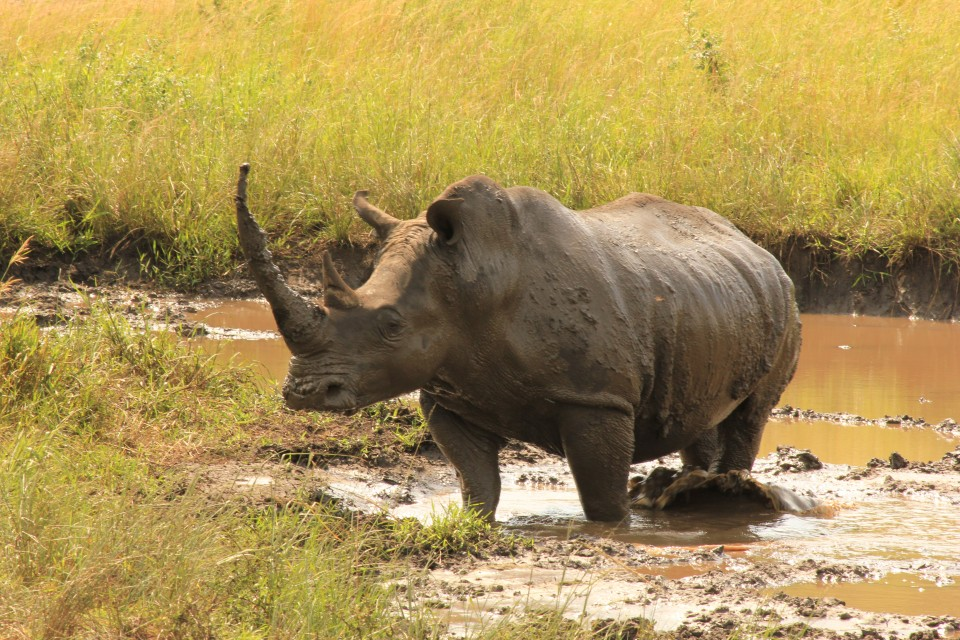 Rhino in Kruger