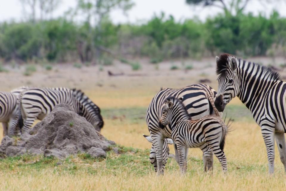 Savuti zebras  by Michael Jansen