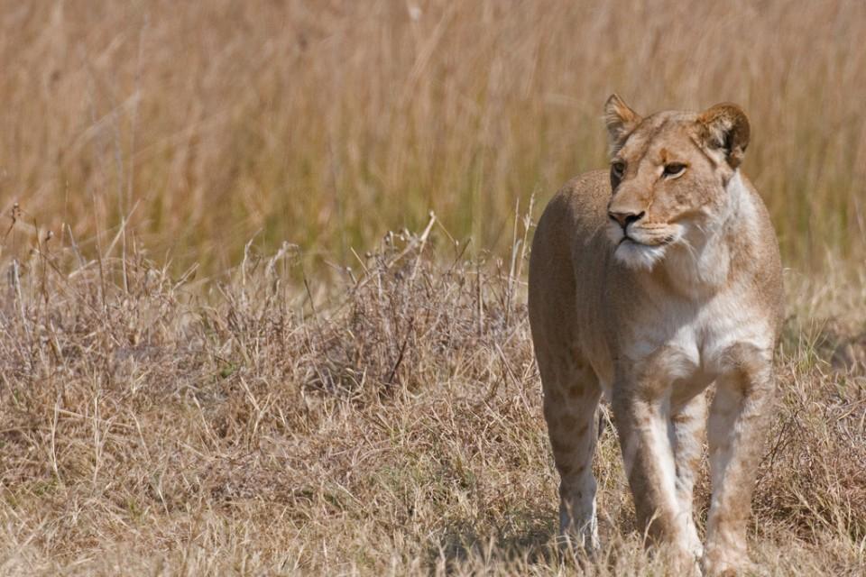 Savuti lion  by Malcolm Macgregor