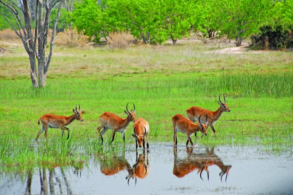 Botswana lechwe