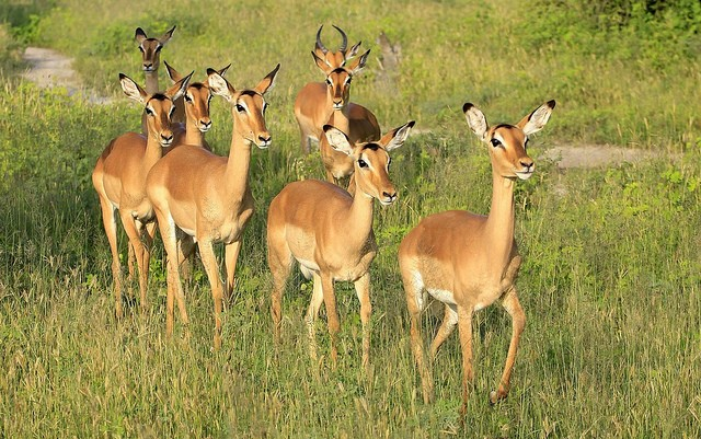 Chobe impala  by Robert Montgomery
