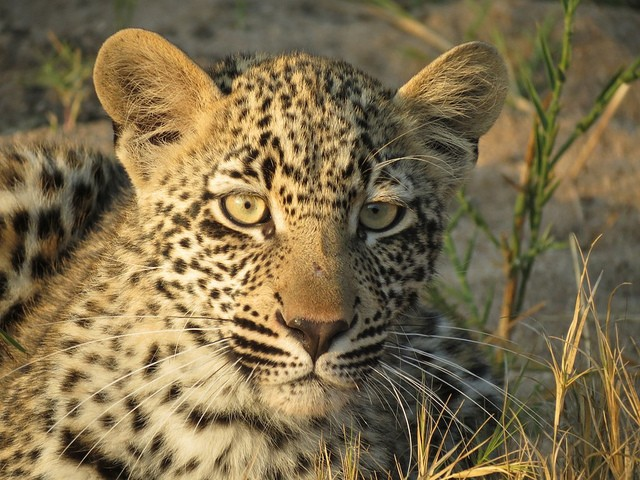 Kruger leopard cub  by Malcolm Manners