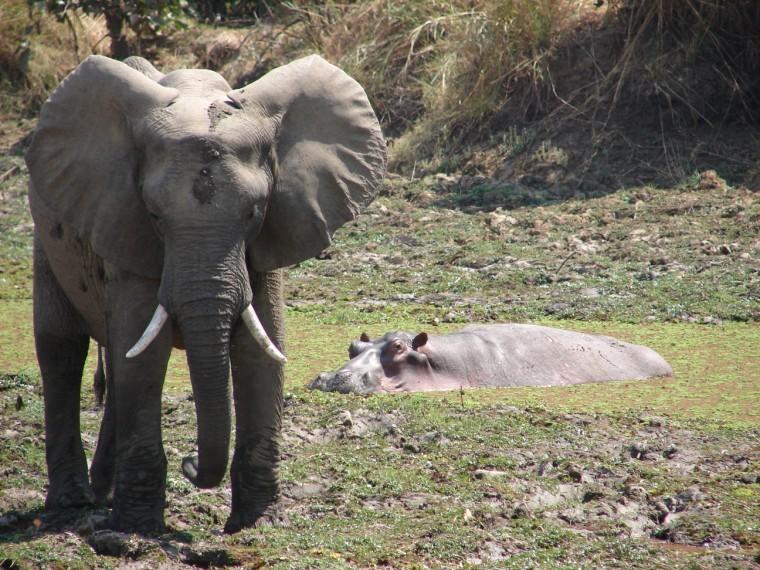 Elephant & hippo