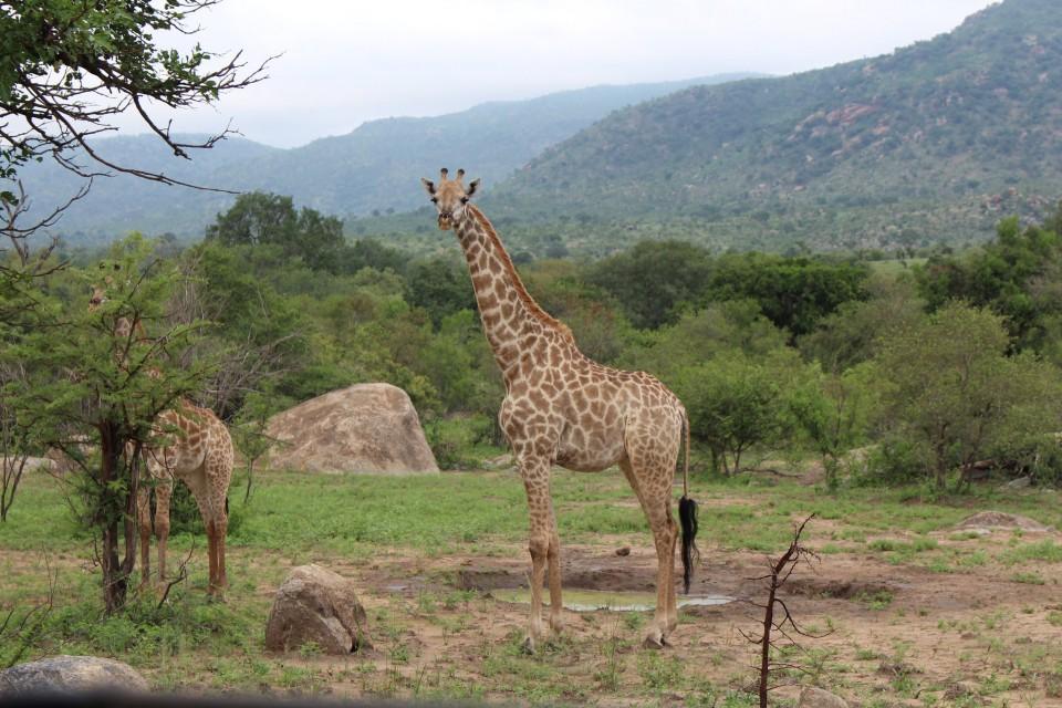 Kruger giraffes  by Ceci Fernandes