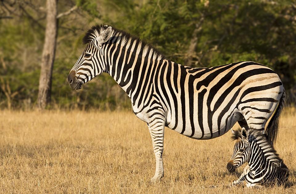 Kruger zebras