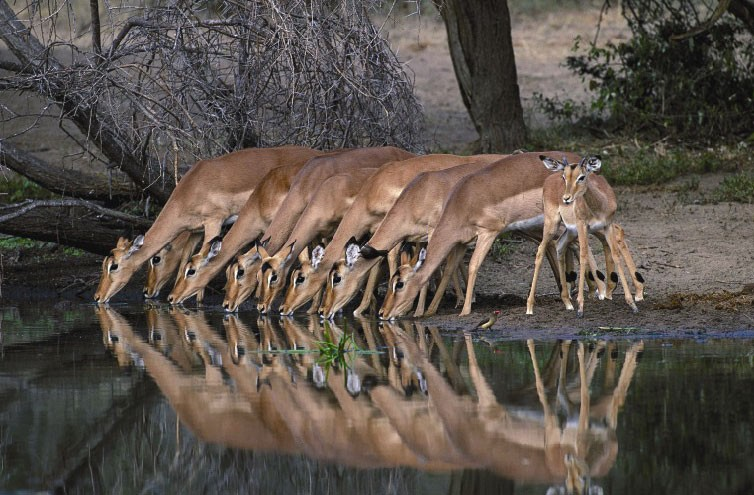 Impala in Kruger Park