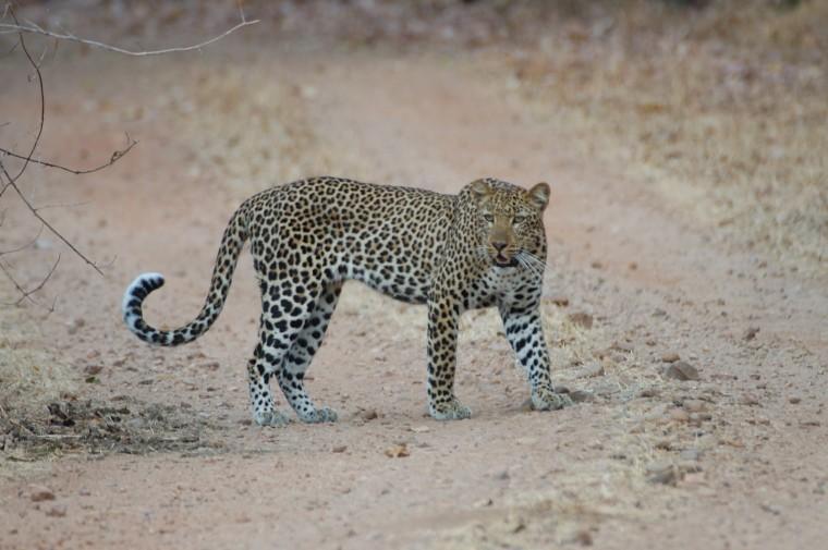 Leopard in Kruger