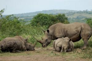 Hluhluwe rhinos by jumblejet