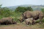 Hluhluwe rhinos