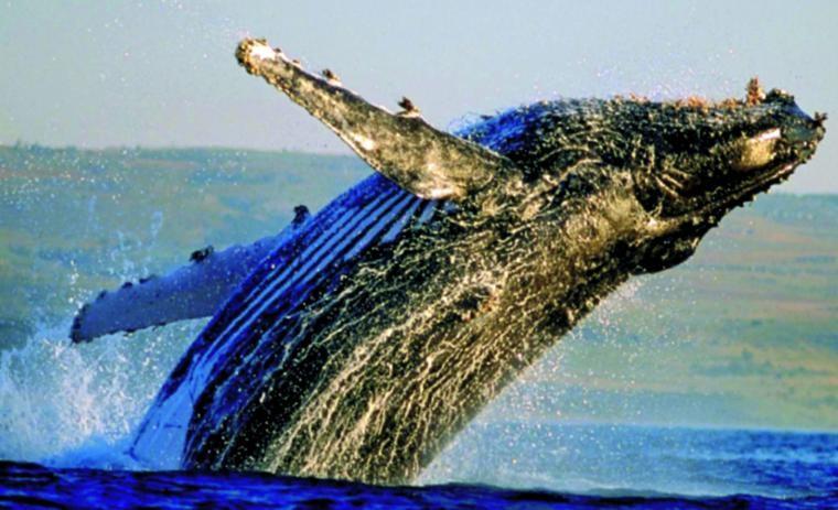 Cape Whale