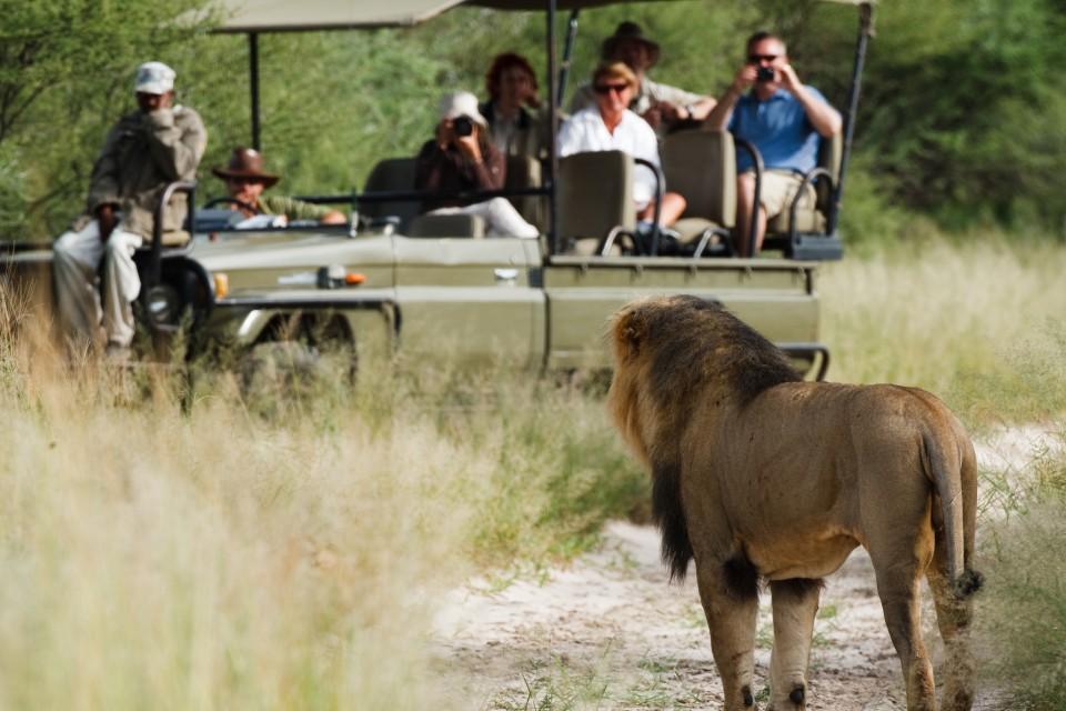 Kalahari lion game drive