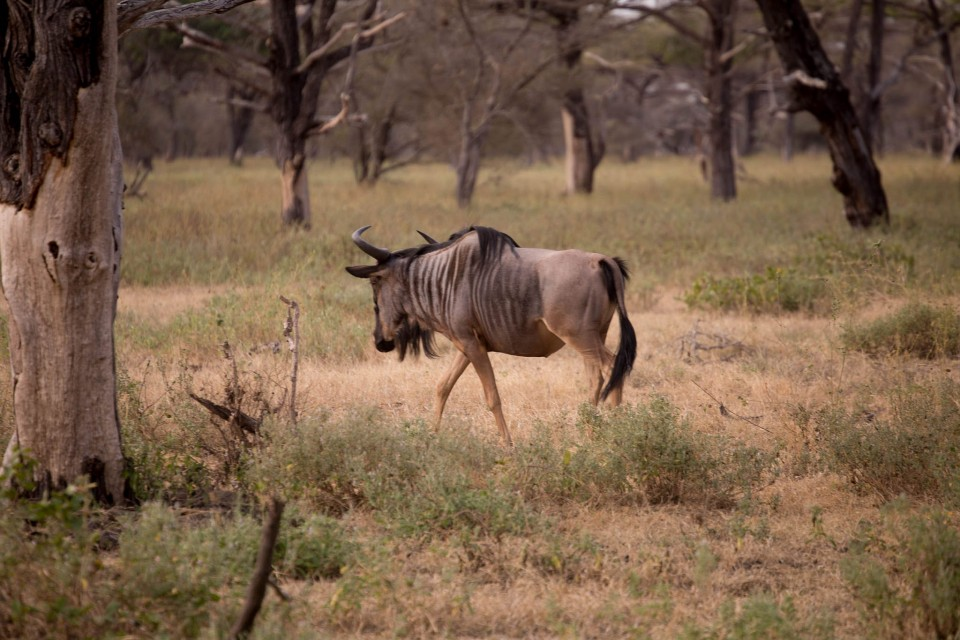 Selous wildebeest  by George