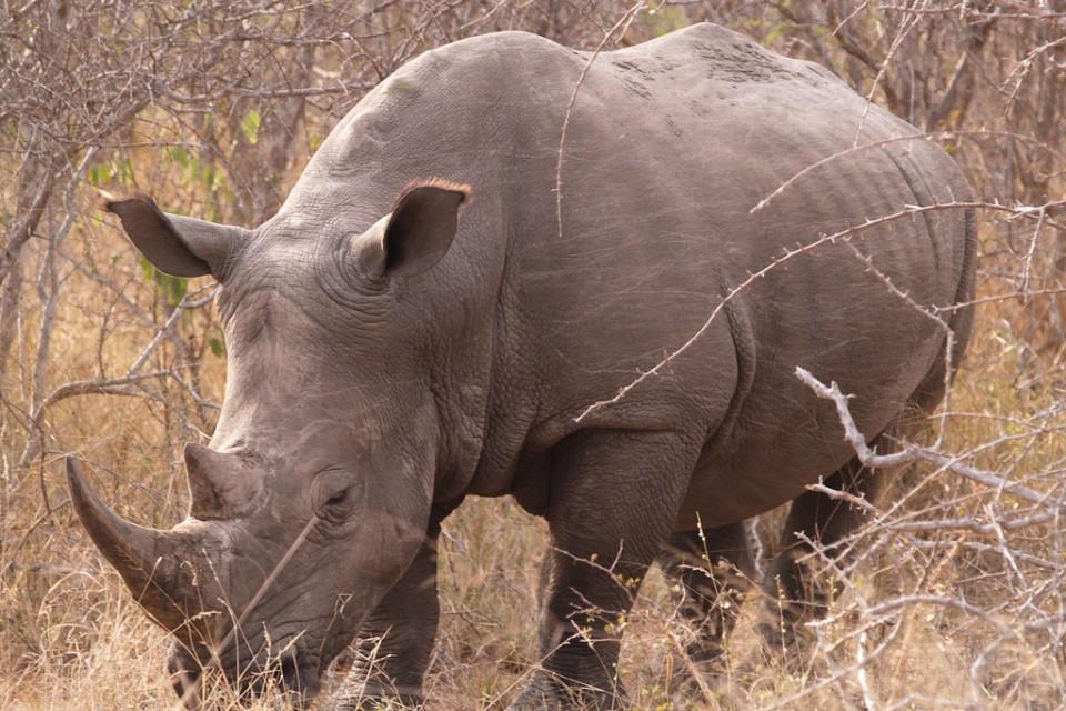 Timbavati rhino  by Philip Sheldrake