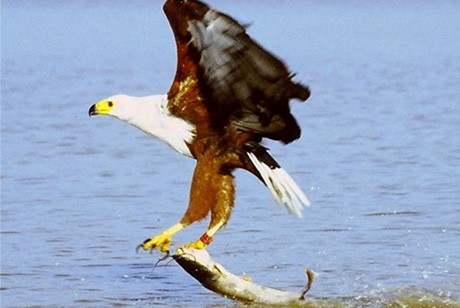 Baringo fisheagle  by Paul Koning