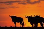 Mara Wildebeest