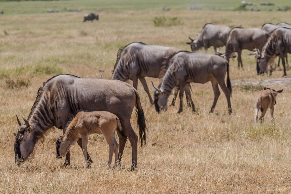 Gnus grazing Amboseli  by Benh LIEU SONG