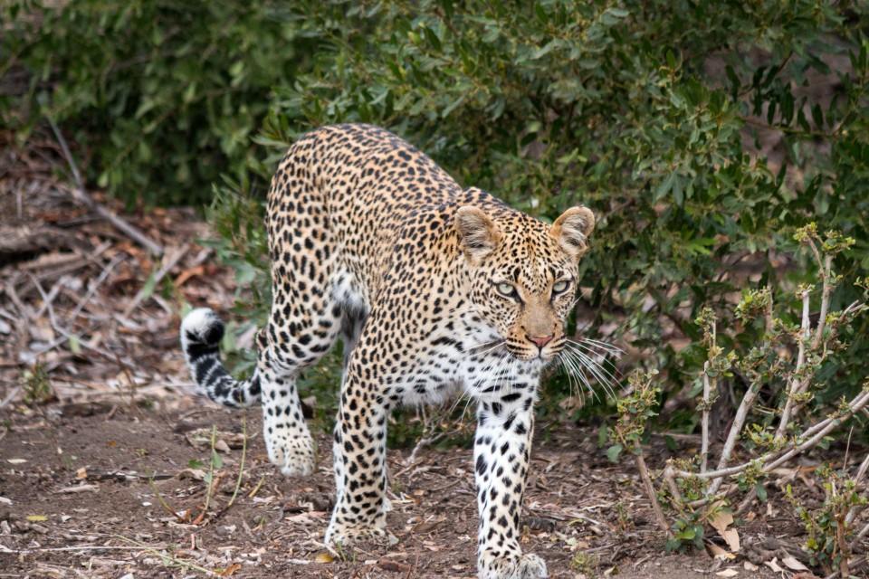 Timbavati leopard  by Ryan Kilpatrick