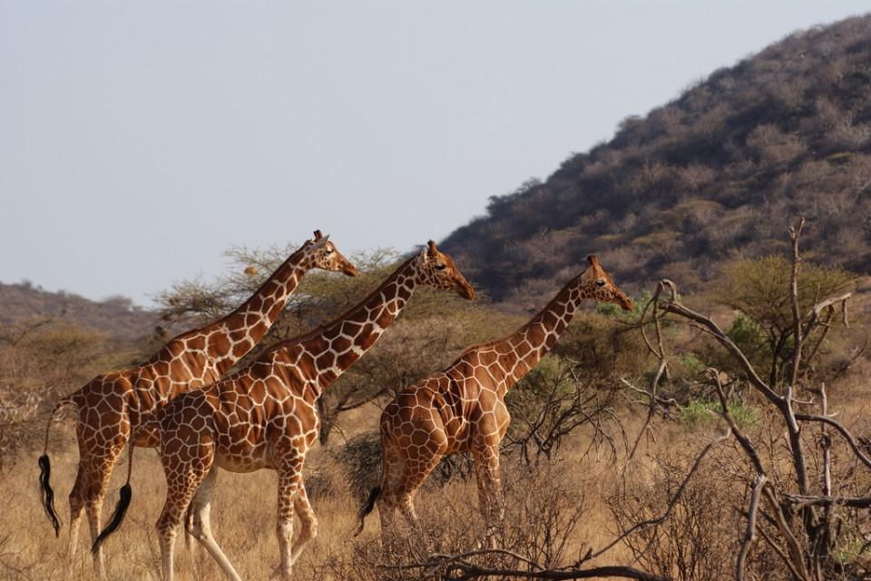 Reticulated Giraffes in Samburu National Park  by Julian Mason