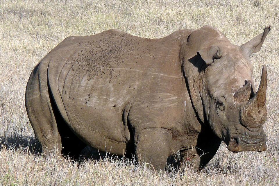 Samburu rhino  by Mara 1