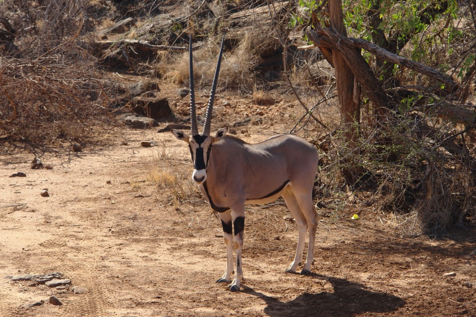 Samburu gemsbok  by Filiberto Strazzari