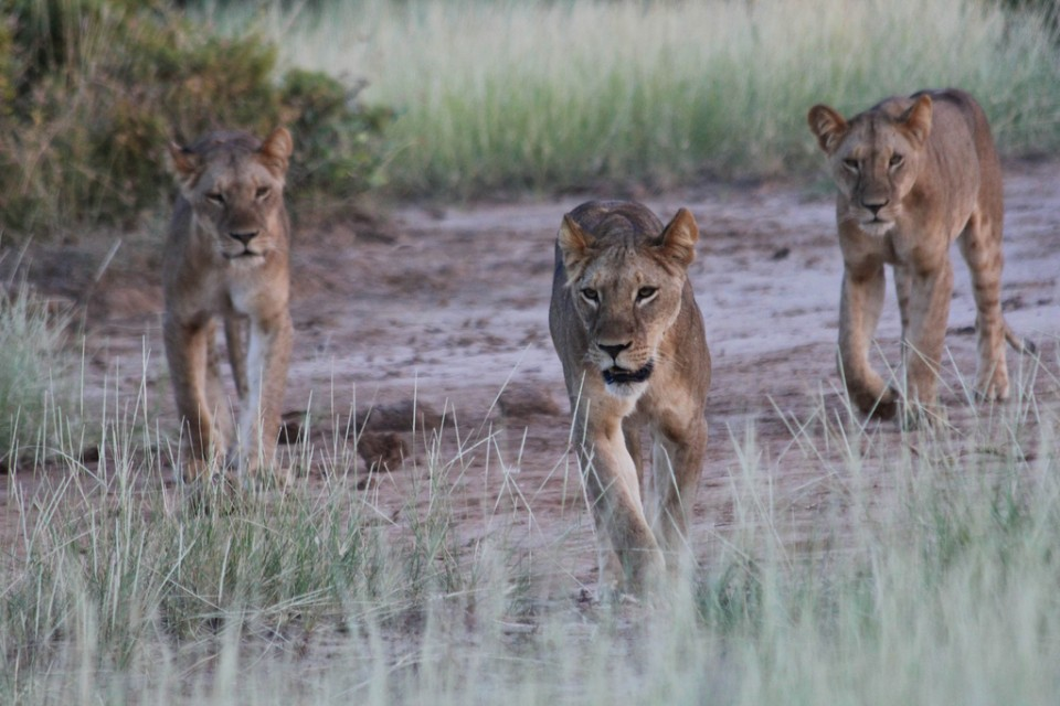 Samburu lioness hunt  by David Creighton