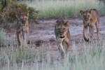 Samburu lioness hunt