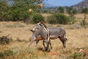 Grevy Zebra biting his rivals during the mating season in Samburu National Reserve, Kenya