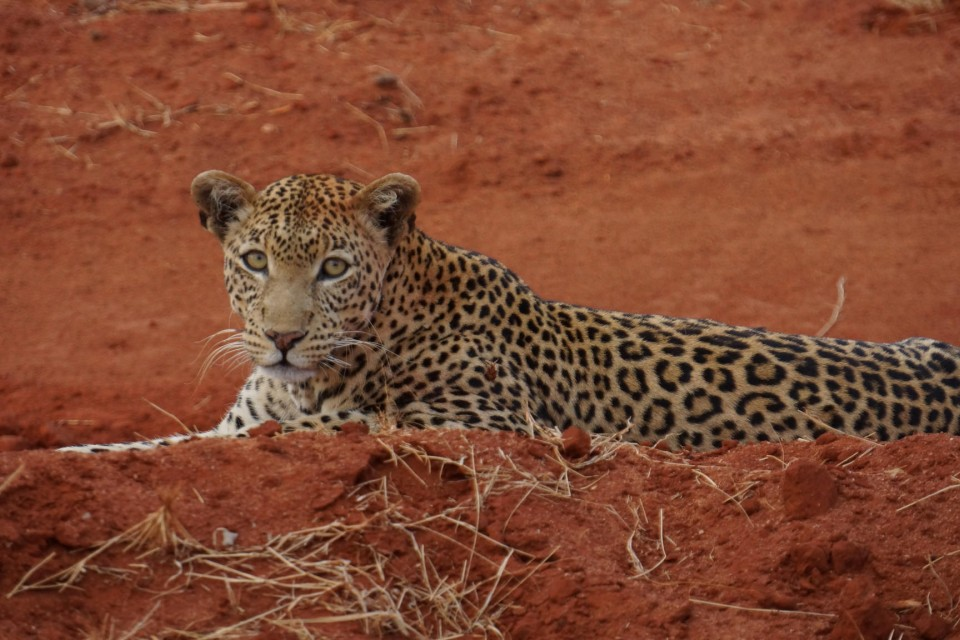 Tsavo leopard  by tom albinson