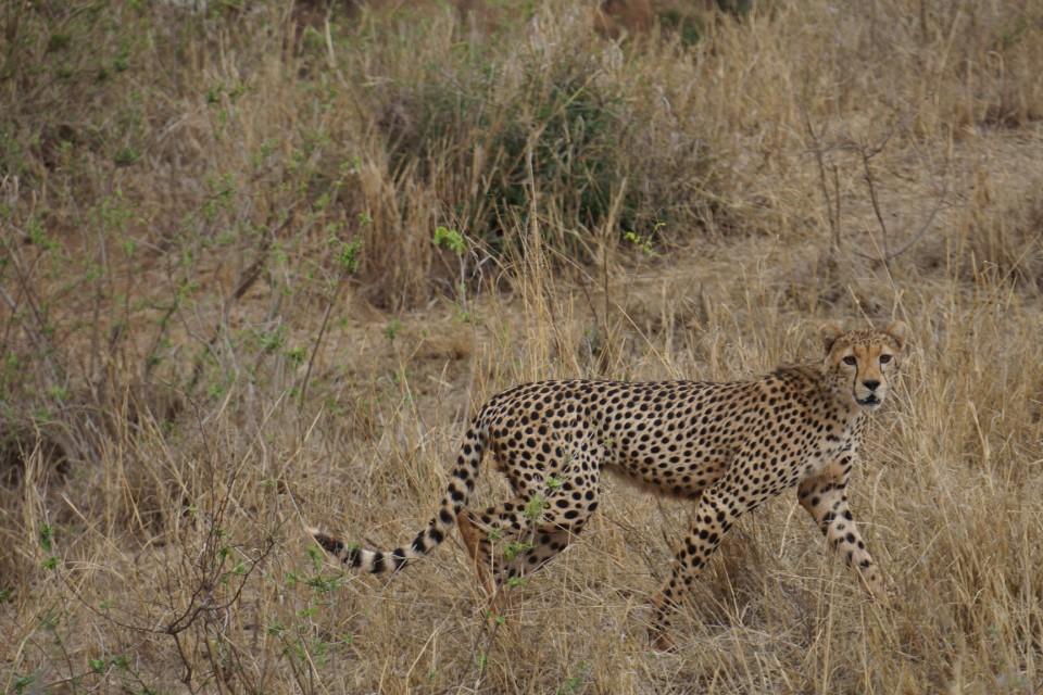 Cheetah in Tsavo  by tom albinson