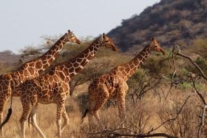 Samburu giraffes