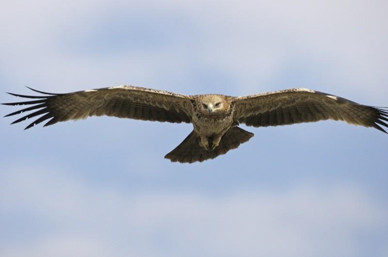 Mara eagle  by Lip Kee
