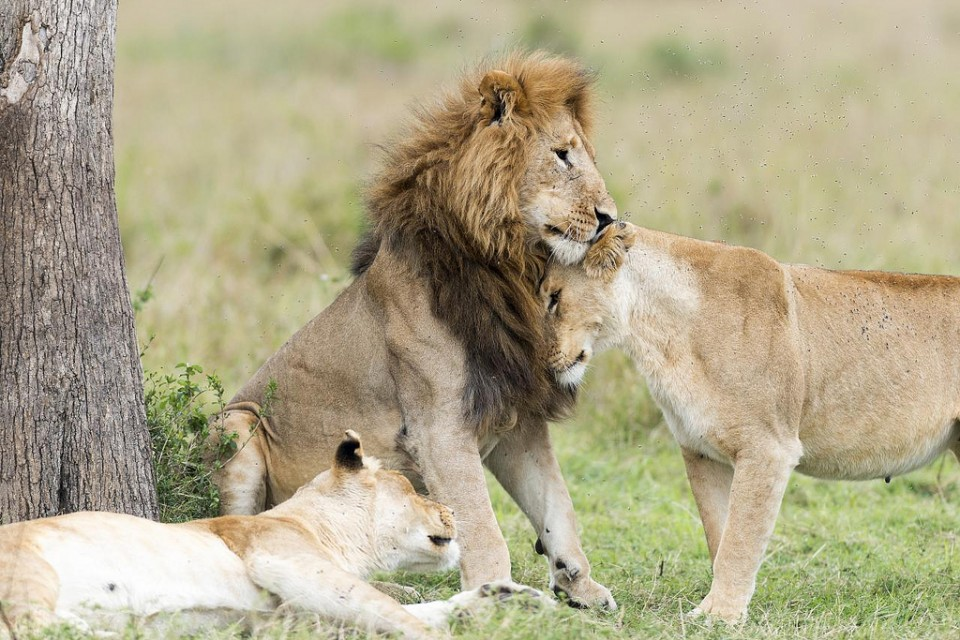Mara lions  by Christopher Michel