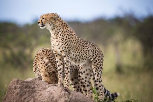 Mara cheetahs by Make it Kenya