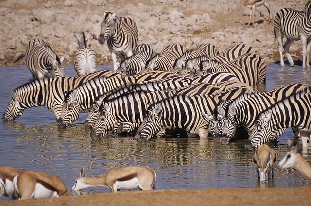 Etosha wildlife  by Mazzali