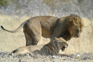 Etosha lions by Frank Vassen