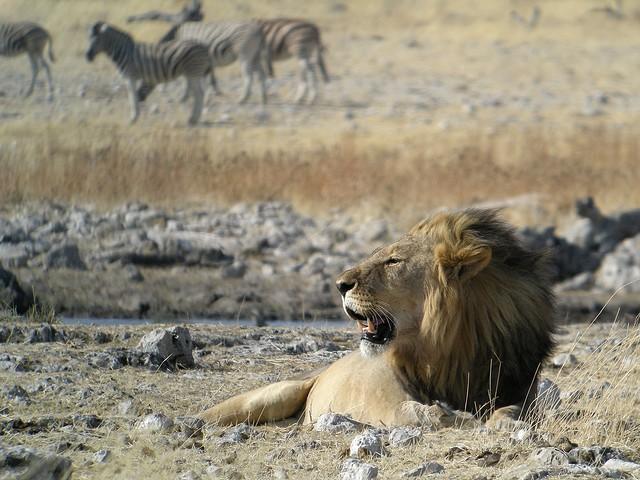 Etosha lion  by Frank Vassen