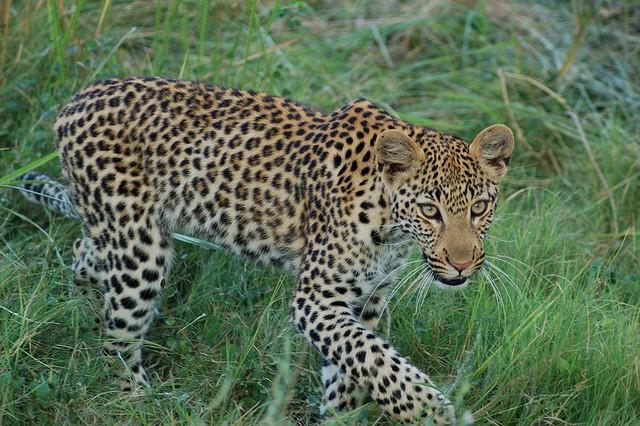 Delta leopard  by Joachim Huber