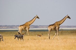 Etosha wildlife by Greg Willis