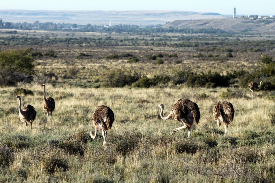 Karoo ostriches  by Flowcomm