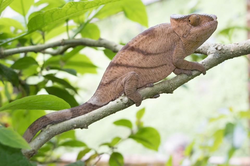 Madagascar Chameleon  by Daniel De Lapelin Dumont