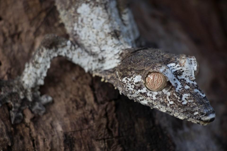 Gecko  by Daniel De Lapelin Dumont